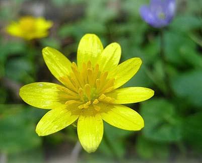 Ficaire - Coloriage fleur 8 petales ...